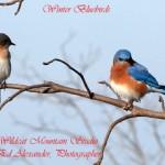 alexander_bluebirds