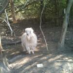Chantilly Lace Angora Goat