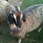 Fantasia Angora Goat
