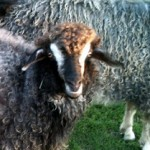 Fritillary Angora Goat