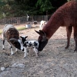Guardian llama checking out the new arrival