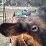 Yampa, the Oberhasli goat, is curious about the camera