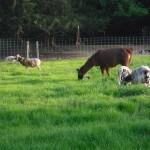 Llama grazing with sheep