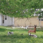 Llama keeping watch