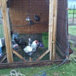 locked up for the night in the coop