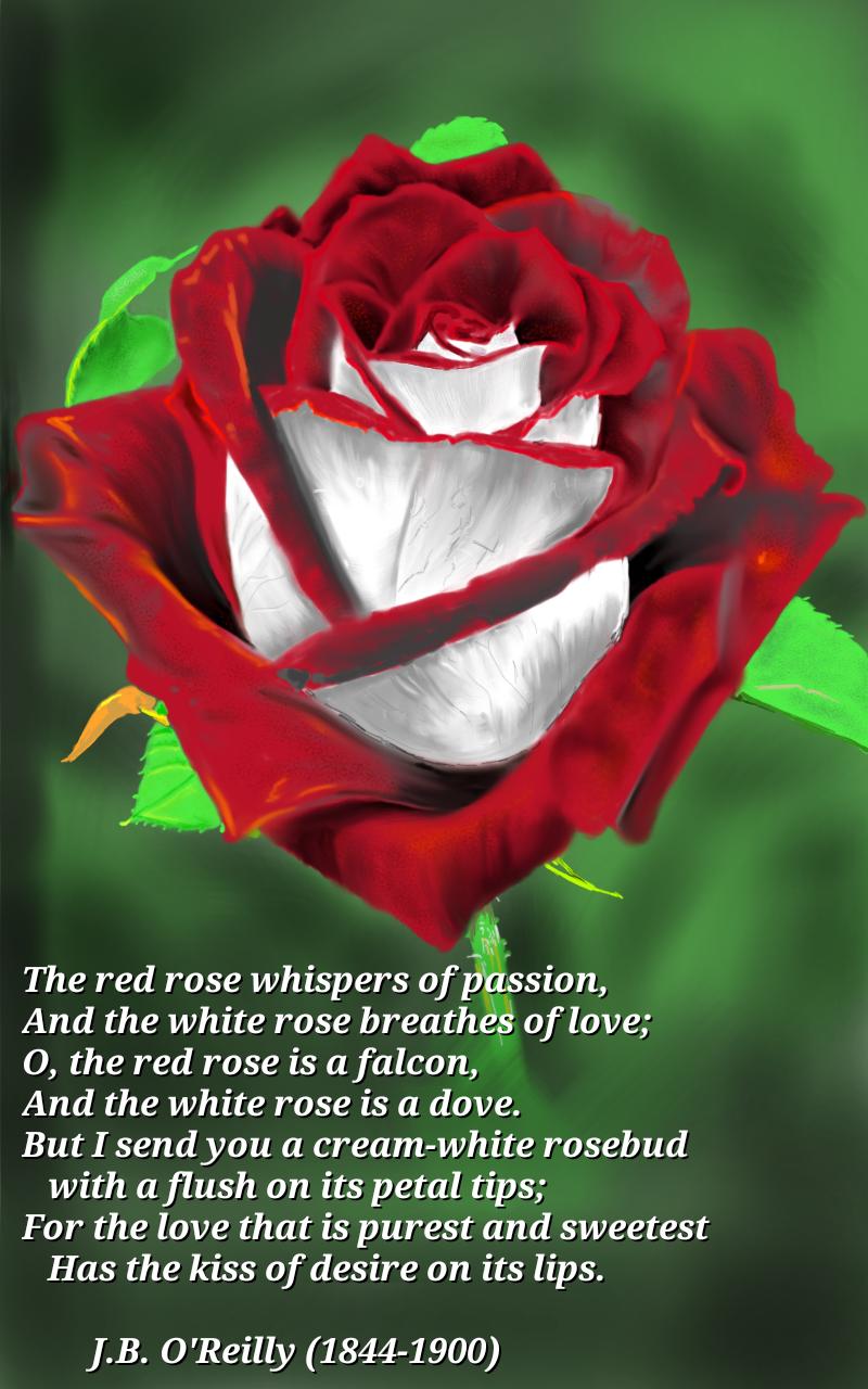 cream white rosebud