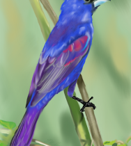 BlueGrosbeak